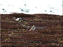 NJ2211 : Snow Bunting near summit of Carn Ealasaid by Richard Doake