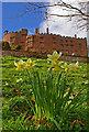 SJ2106 : Daffodils at Powis Castle by Ian Capper