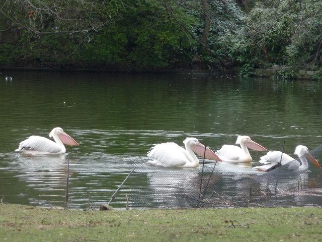 London : Westminster - Pelicans in St James' Park