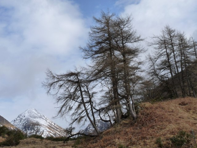 Winter larches