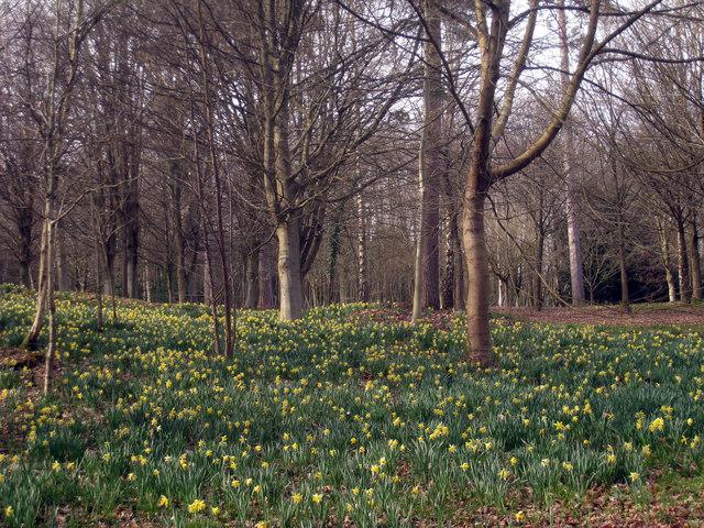 Daffodils in Jockeys Wood