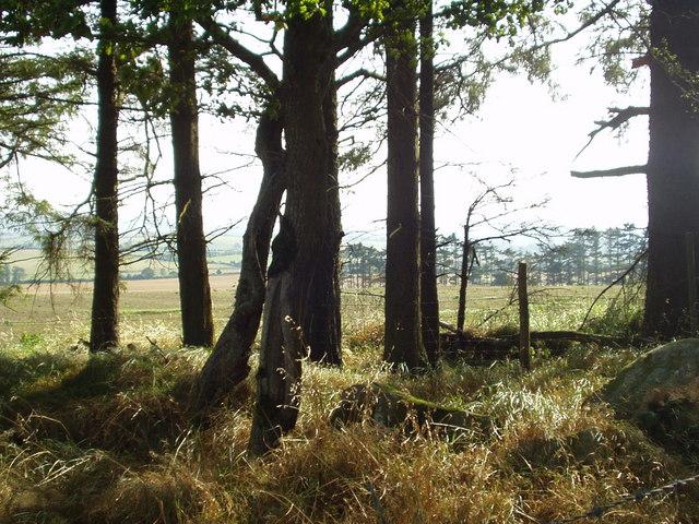 Windbreak in County Wicklow