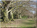 NY9864 : Trees at West Green by Mike Quinn