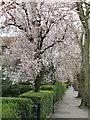 TQ1981 : Cherry and privet, Hanger Hill Garden estate by David Hawgood