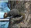 J3372 : Grey squirrel, Botanic Gardens, Belfast by Albert Bridge