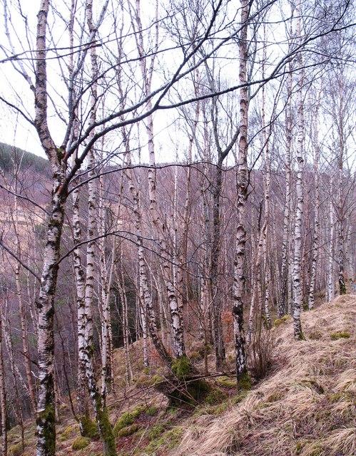 Birches in Glen Tilt