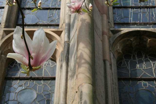 Magnolia flower by St Mary's