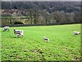 SD2986 : Ewes and lambs, Lowick by Maigheach-gheal
