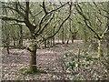 SP2272 : Oak woodland, Nunley Pit by Robin Stott
