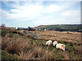 NY5316 : Sheep grazing near Rosgill by Karl and Ali