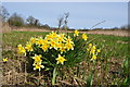 TG3205 : Daffodils show it's Spring by Ashley Dace