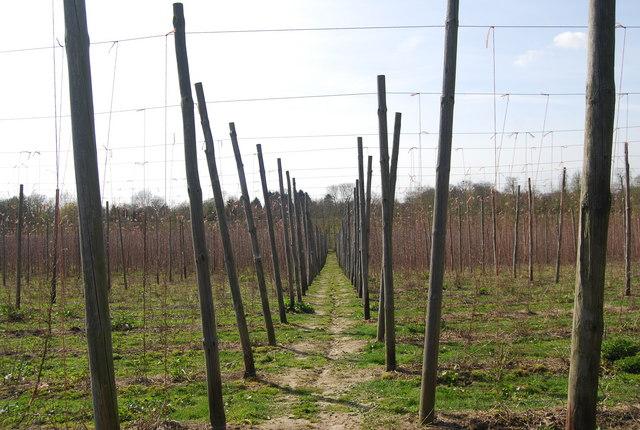 High Weald Landscape Trail through the hop fields