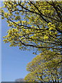 SX9065 : Trees in flower, Cricketfield Road, Torquay by Derek Harper