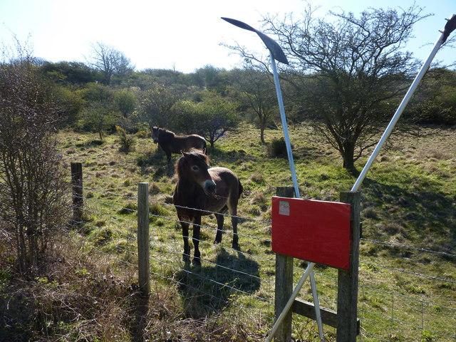 Exmoor ponies on Lullington Heath