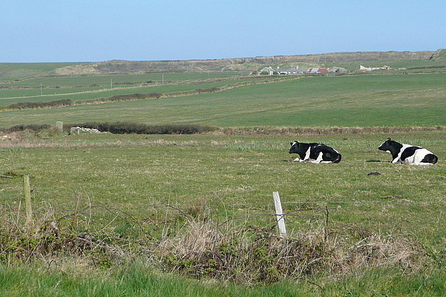Cattle north of Kilkee