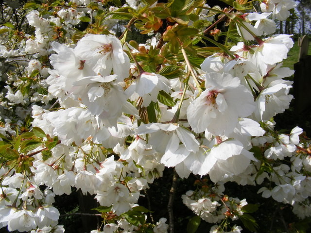 Cherry Tree in Blossom All Saints Churchyard, Saxtead