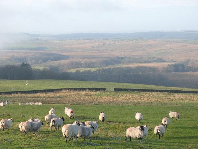 Sheep grazing near Park Head