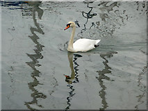 SZ3394 : Mute Swan (Cygnus olor) by Christine Matthews