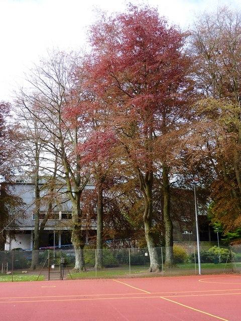Beech trees, Upton Park
