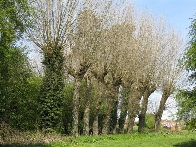 Pollarded willows at Rothwell