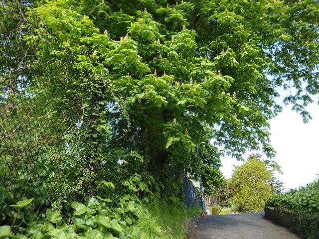 Chestnut tree, access lane, Lymington Road car park