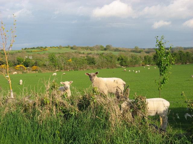 Lambs at Cloghan, Ardcath, Co. Meath