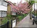 TQ1981 : Cherry blossom in Princes Gardens by David Hawgood
