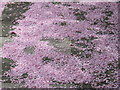 TQ1981 : Fallen cherry blossom, Monk's Drive by David Hawgood