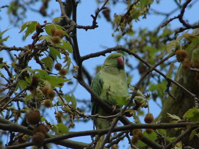 Feral Parakeet at Kew Gardens