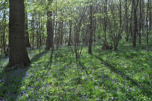 Bluebell Filled Sisland Wood