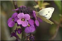 SJ3999 : Small White (Pieris rapae) on Honesty, Melling by Mike Pennington