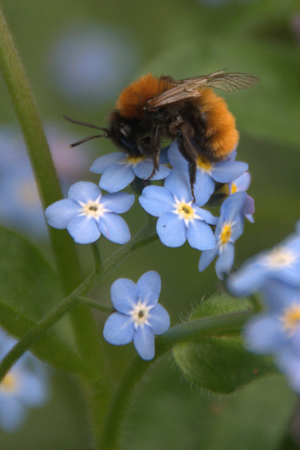 Common Carder Bee (Bombus pascuorum), Melling