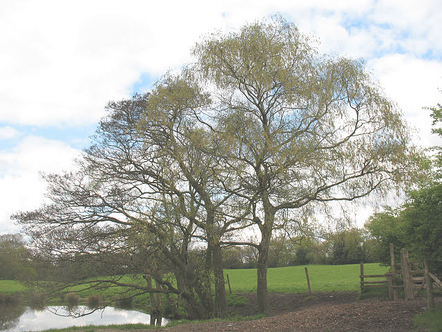 Spring willow at Hill Top