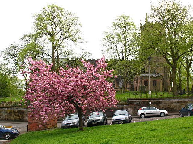 Cherry blossom, Well Bank
