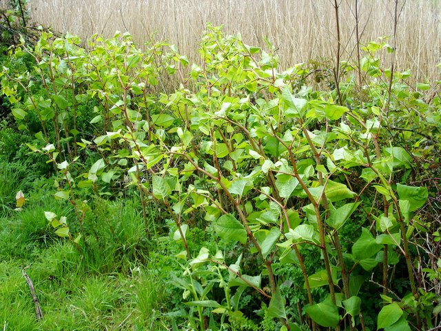 Japanese Knotweed, Radipole Lake Nature Reserve, Weymouth