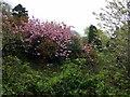 SM9732 : Barham School, cherry tree by ceridwen