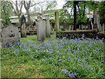 TQ3282 : Bluebells, Bunhill Fields, City Road, London EC1 by Christine Matthews
