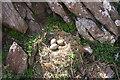 SM7405 : Lesser black-backed gull's nest, Skokholm by Bob Jones