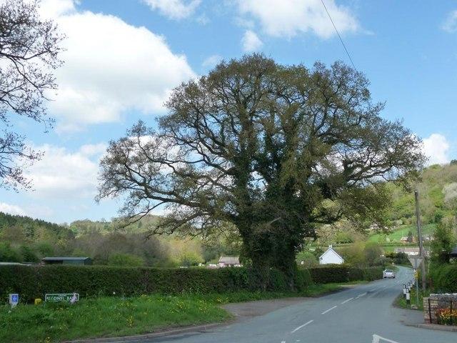 Tree at the foot of Blodwel Bank