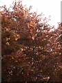 SX9065 : Copper Beech, Teignmouth Road by Derek Harper