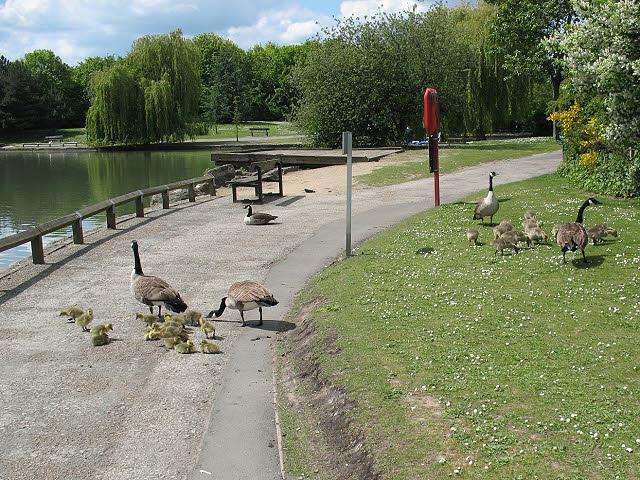Goslings in Beckton District Park