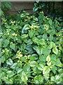 ST9917 : Yellow Archangel (Galeobdolon luteum), Sixpenny Handley by Maigheach-gheal