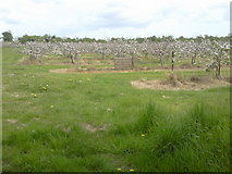 O0956 : Orchard in Blossom, Co Dublin by C O'Flanagan