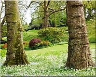 SX7962 : Tree trunks and wild garlic, Dartington Hall Gardens by Tom Jolliffe