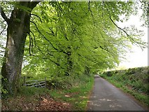 ST2214 : Avenue of beech trees, north of Otterford by Derek Harper