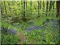 ST2213 : Bluebells above Otterford Lakes by Derek Harper