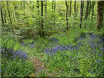 ST2213 : Bluebells above Otterford Lakes by Derek Harper