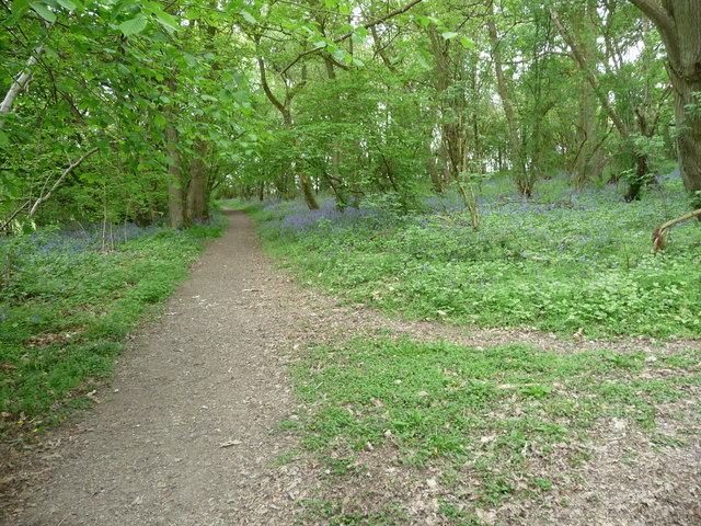 Bluebell woods in Sallow Coppice near Craven Arms
