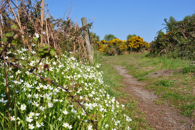 White Flowers with Gorse