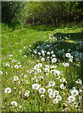 TR1859 : Dandelions by the footpath leading from Fordwich by pam fray
